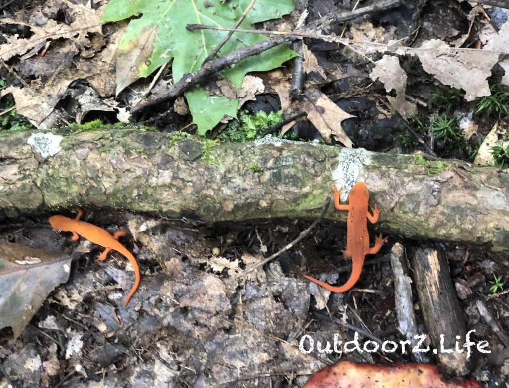 Eastern Newts, Red-Spotted Newts, Salamander, Outdoorzlife