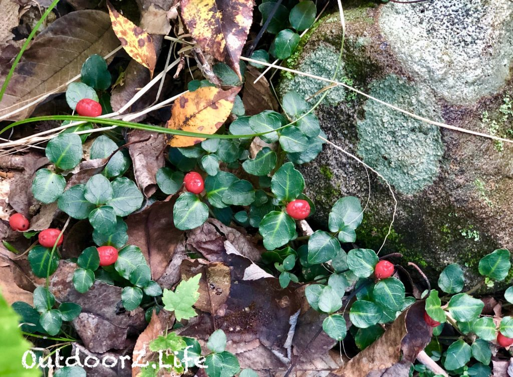 Partridge Berries, Mitchella, Outdoorzlife