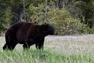 Oudoorzlife, black bear