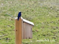 Bluebird, Outdoorzlife