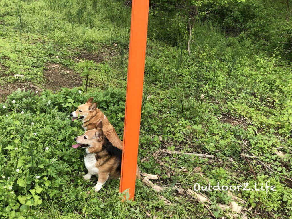 Picture of 2 Corgis guarding a trail marker